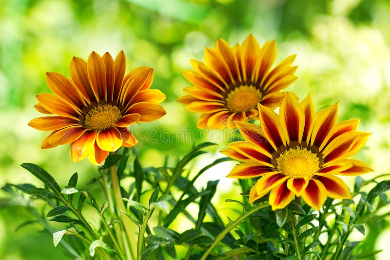 Gazania flower or african daisy in a garden royalty free stock image