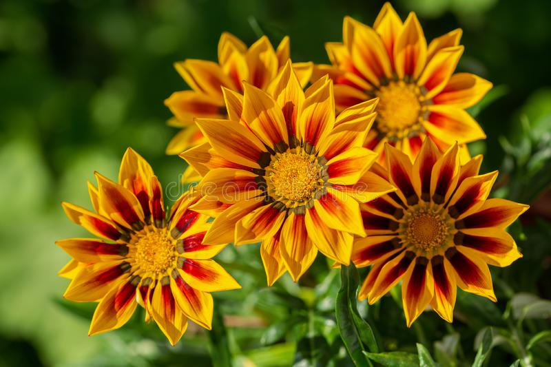 Gazania flower or african daisy in a garden royalty free stock photography