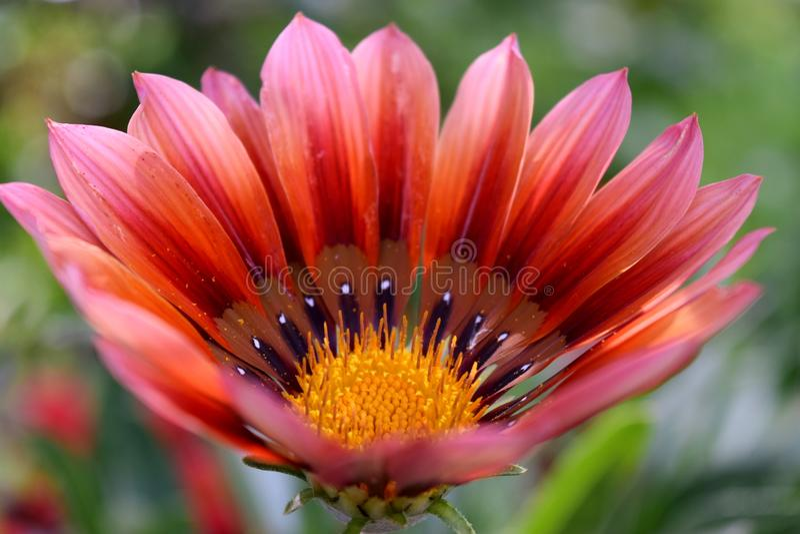 Gazania flower. Detail of a flower gazania royalty free stock image