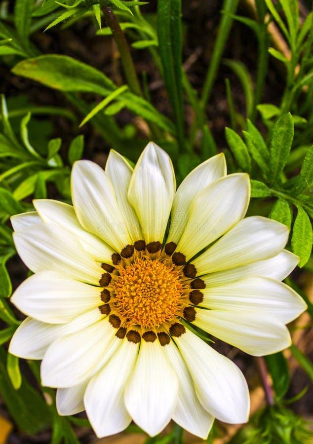 Gazania. Flower field  rigens macro shot stock image