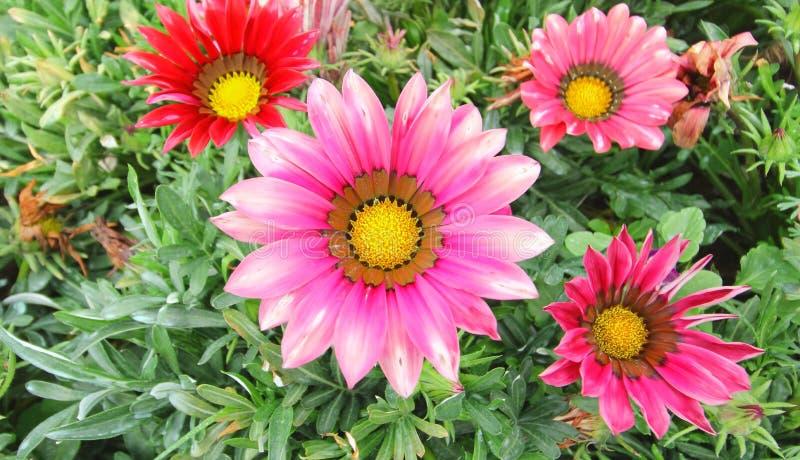 Gazania flower field. Gazania rigens macro shot stock photo