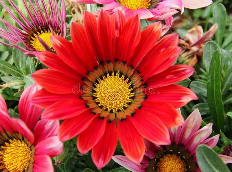 Gazania flower field. Gazania rigens macro shot royalty free stock photo