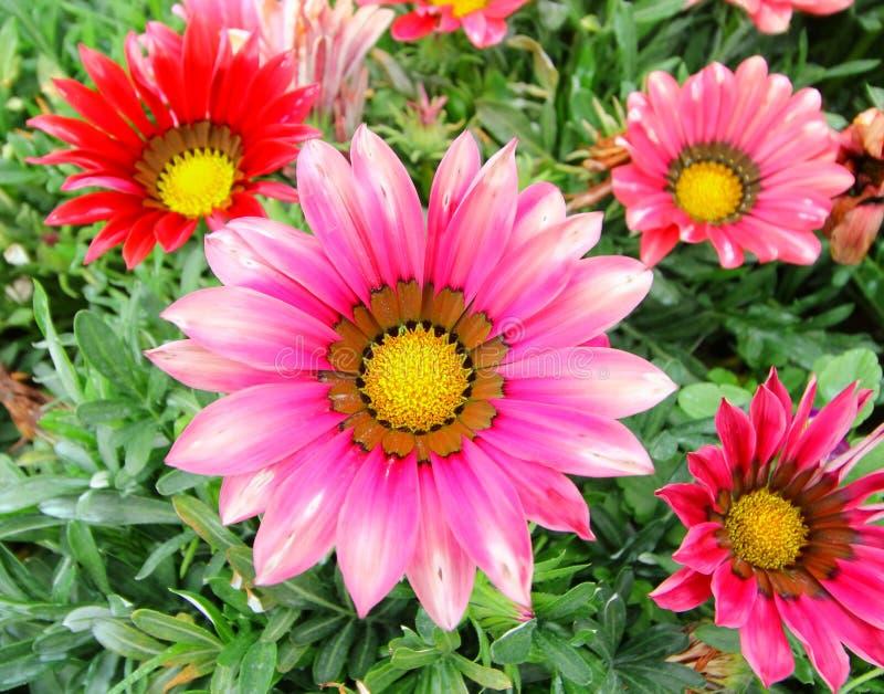 Gazania flower field. Gazania rigens macro shot royalty free stock photos