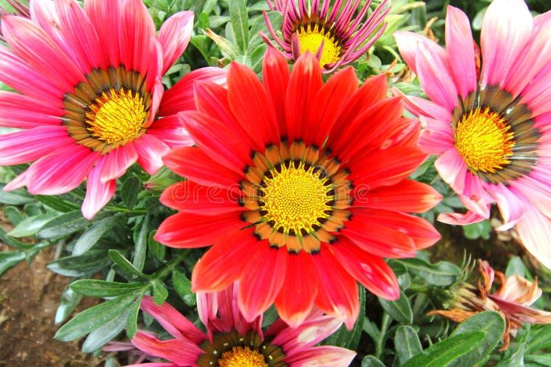 Gazania flower field. Gazania rigens macro shot royalty free stock photography