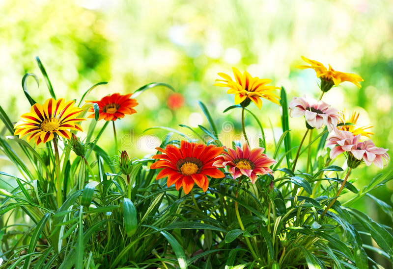 Gazania Flower royalty free stock photos