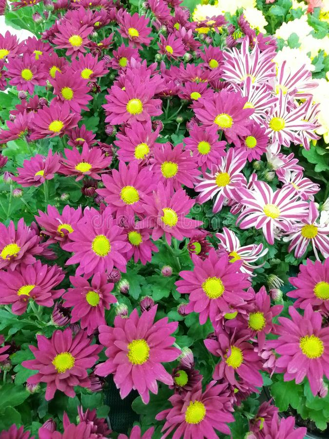 Gazania flowers with different pink and white styles. Group of Gazania flowers with different colors pink and white with yellow centre royalty free stock photography