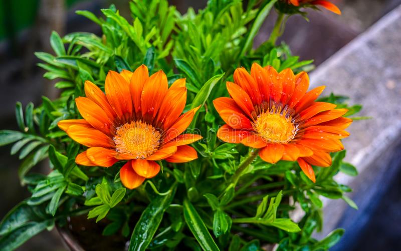 Gazania Flowers With Green Background And Water Droplets On Its Petal stock photography