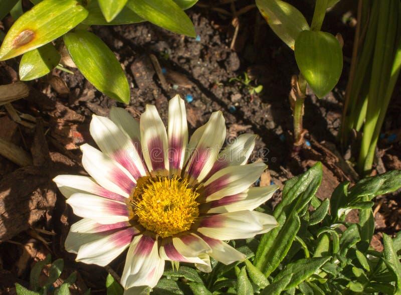 Gazania on the garden. Beautiful single white gazania on the garden royalty free stock images