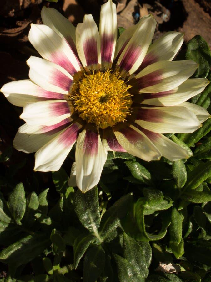 Gazania on the garden. Beautiful single white gazania on the garden stock images