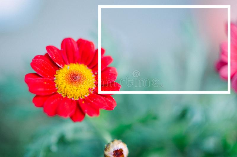Gazania garden plant in flower and white frame. Gazania garden plant red flower and white frame stock photography