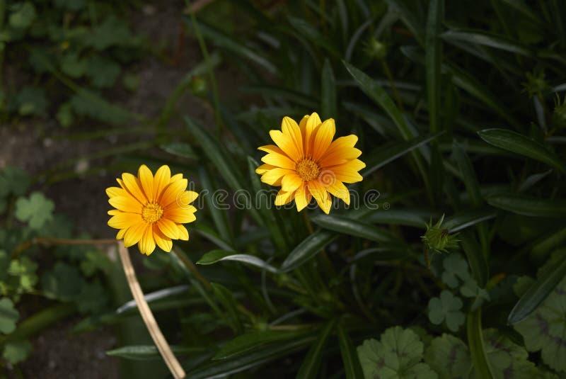 Gazania gele bloem royalty-vrije stock afbeeldingen