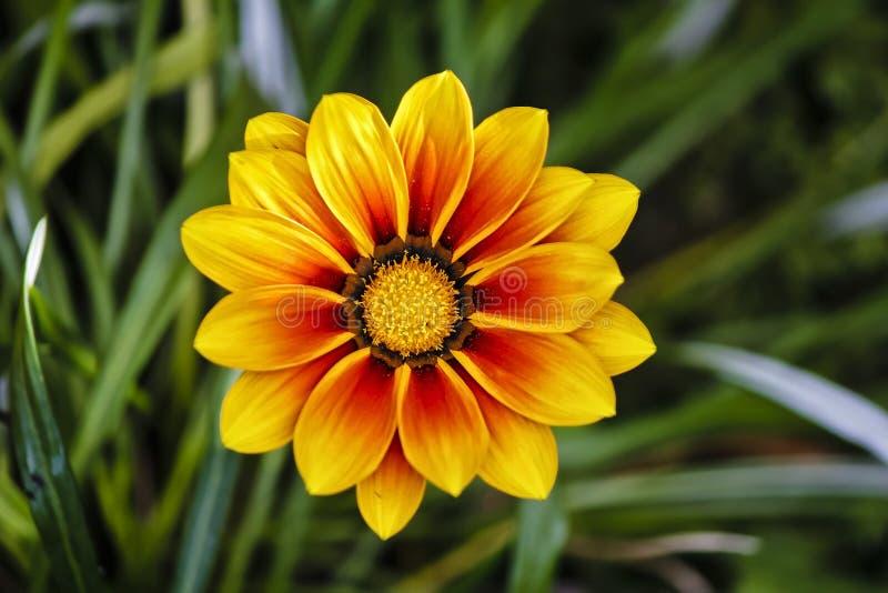 Gazania Gele bloem in close-up royalty-vrije stock fotografie