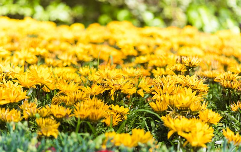 Yellow Gazania flower field. Gazania is a genus of flowering plants in the family Asteraceae, native to Southern Africa. They produce large, daisy-like composite royalty free stock photography