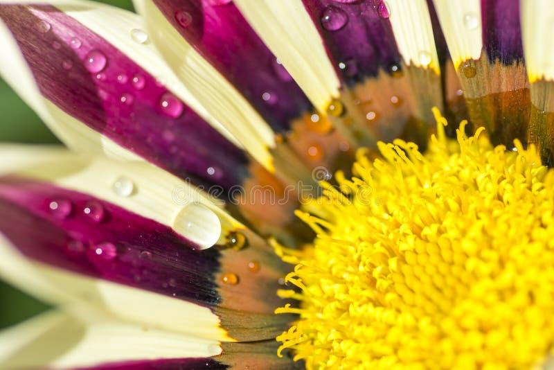 Gazania hermoso de la flor con descensos de rocío fotografía de archivo libre de regalías
