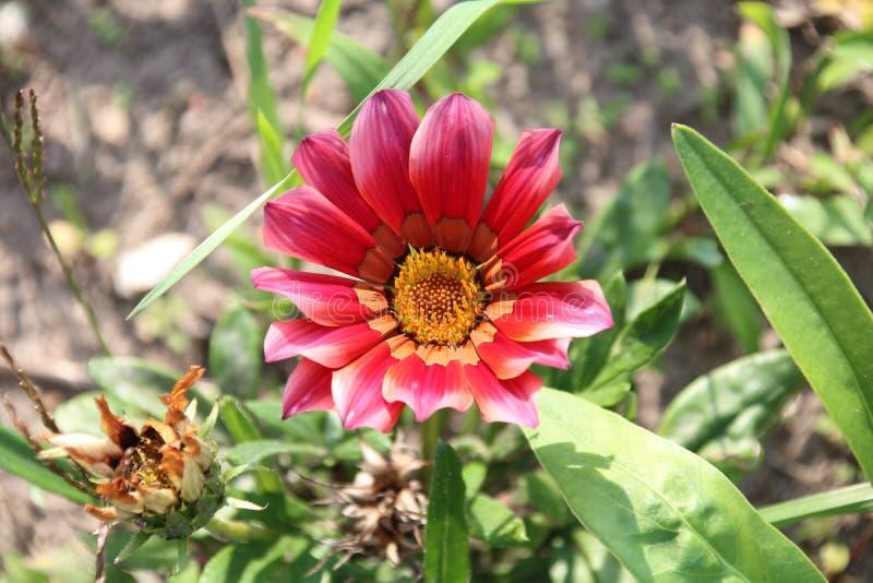 Gazania kwiat zdjęcie stock