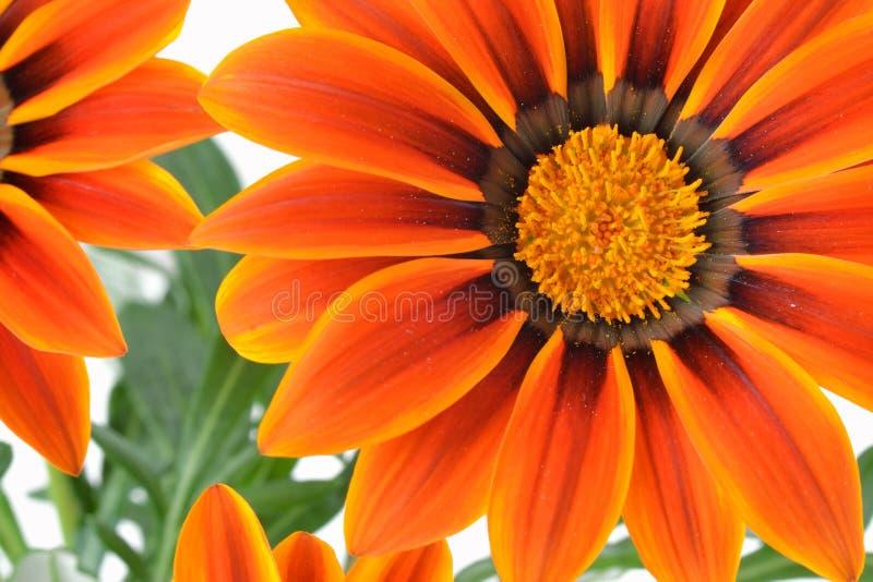 Gazania kwiat makro- fotografia stock