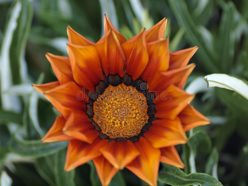 Gazania Lineraris. Orange Flower in Bloom surround by curvy leafs and other flowers almost ready to bloom.  Gazania linearis is a species of flowering plant in royalty free stock photography