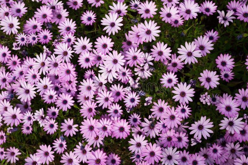 Gazania longiscapa flowers. Many small pink flowers gazania longiscapa in the flowerbed stock photo
