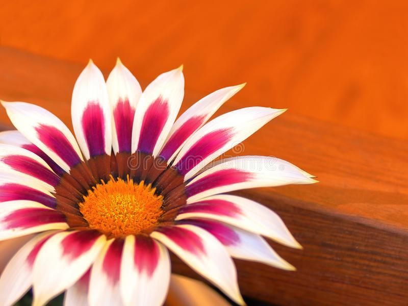 Gazania motley on the table. Close-up blurred background royalty free stock photography