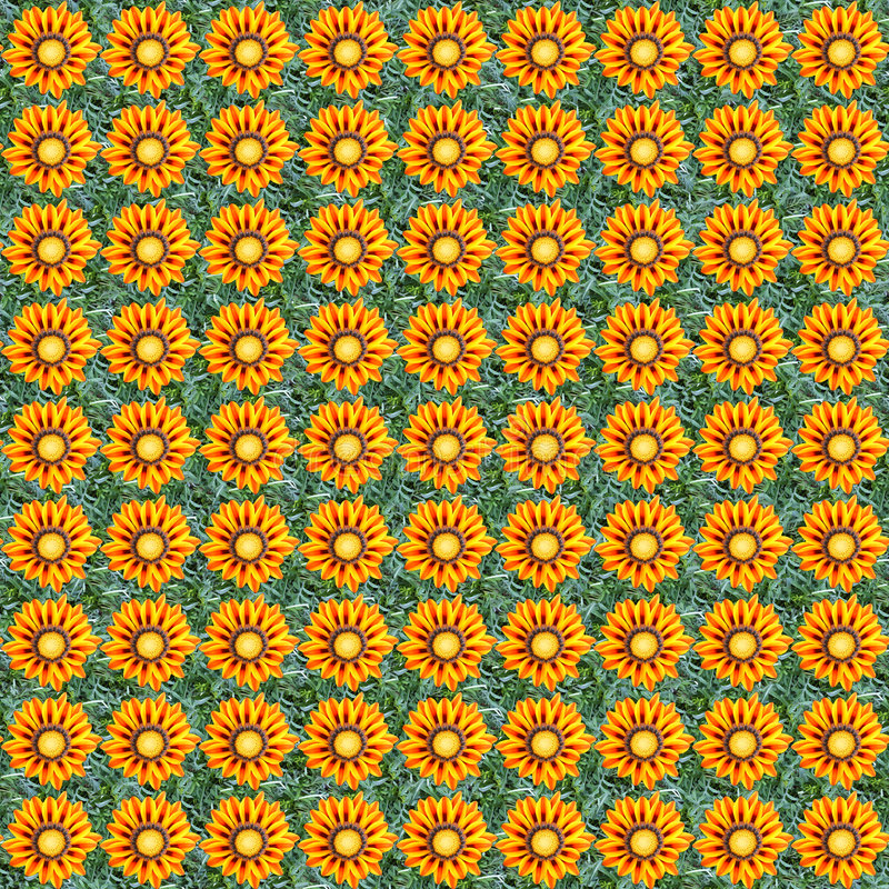 Gazania seamless composable pattern. Seamless pattern made of gazania flowers. It's composable like tiles without visible connecting line between parts royalty free stock photography