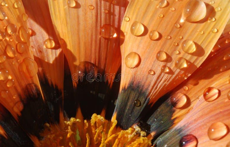 Download Gazania with water drops stock image. Image of petals - 1721309