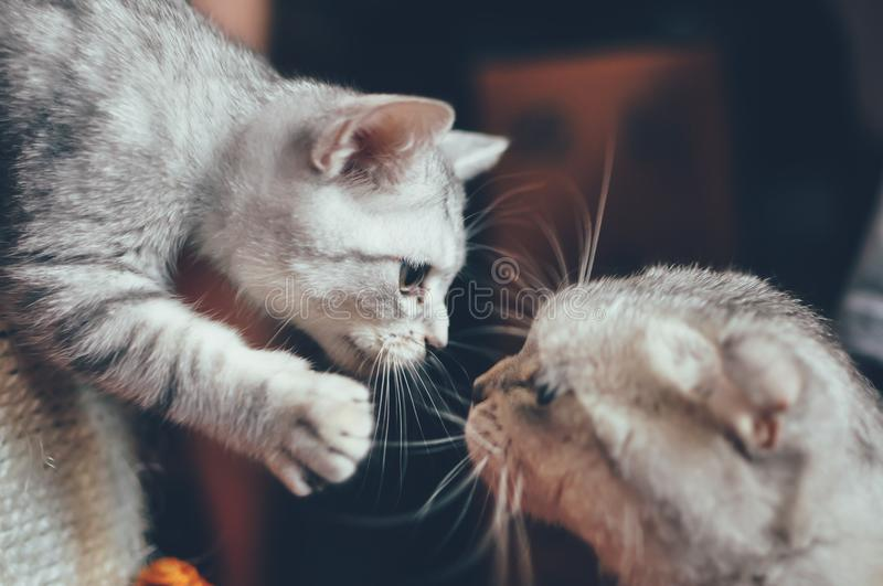 The gaze of two cats is father and son royalty free stock images
