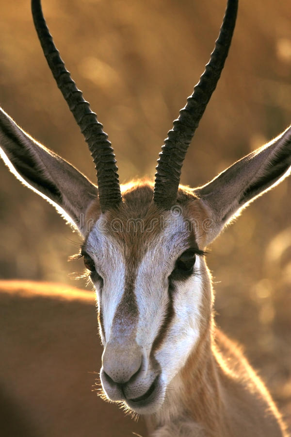Gazela - Damaraland - Namíbia fotos de stock royalty free