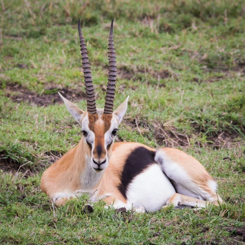 Gazela de descanso fotos de stock royalty free