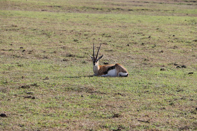 Gazela de Thomson no selvagem imagens de stock royalty free