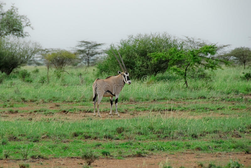 Gazela do Oryx, parque nacional inundado (Etiópia) imagens de stock royalty free