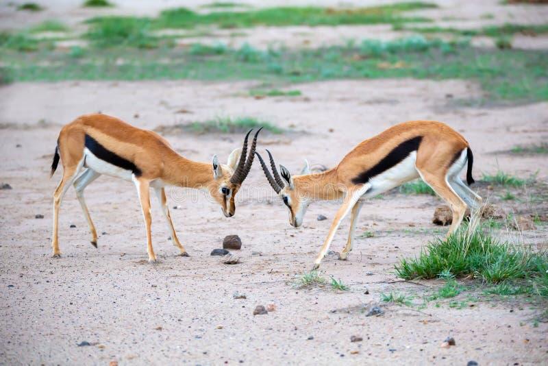 A gazela dois Thomsons está lutando no savana de Kenya imagem de stock royalty free
