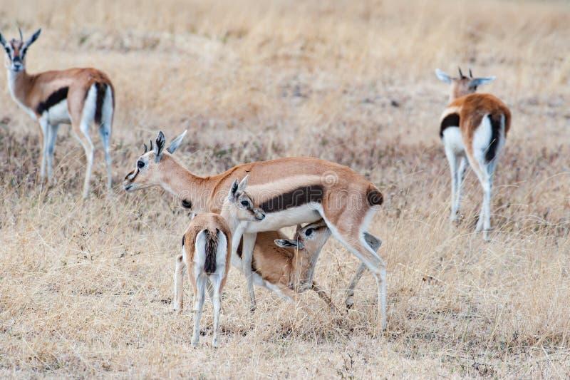 Gazela fêmea africana com os filhotes, amamentando um filhote, Tanzânia, África imagem de stock