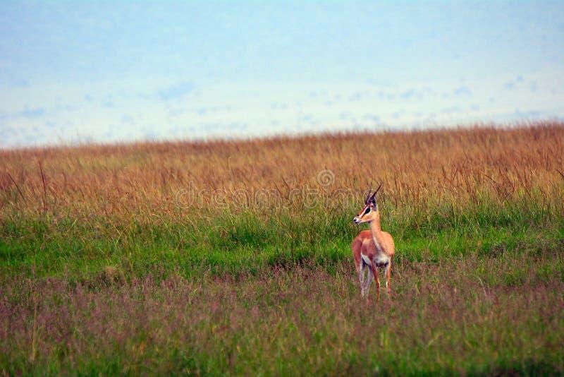 Gazela, Maasai Mara gry rezerwa, Kenja zdjęcia stock