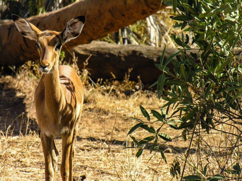 Gazela patrzeje kamerę fotografia stock