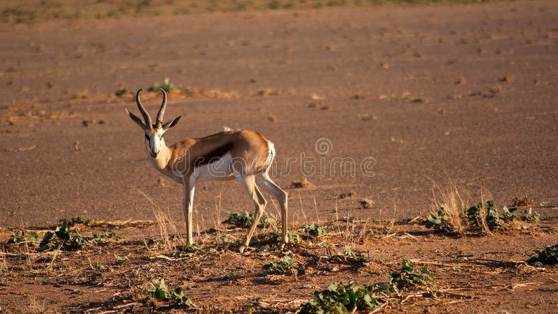 Gazela (springbuck), olhando a câmera foto de stock