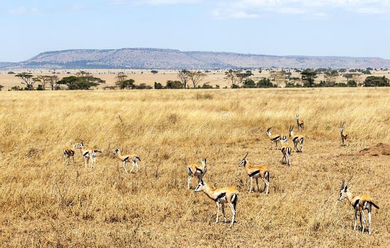 Gazelas nas pradarias de Tanzânia imagens de stock royalty free