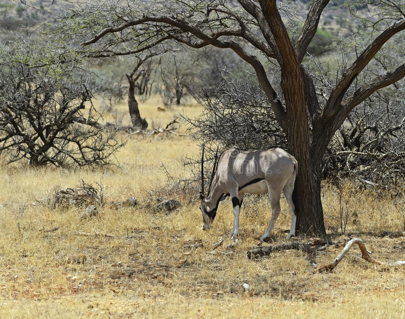 Gazella d'oryx image libre de droits