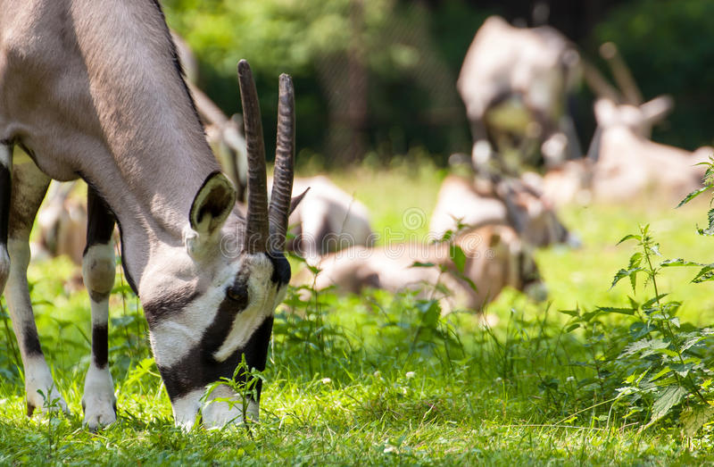 Gazella Eating the Grass. Gazella (Oryx) Eating the Grass, other gazellas in background stock images