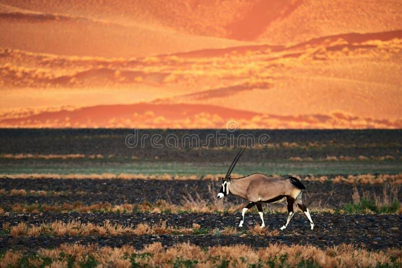Gazella hermoso del Oryx del Oryx que camina en el desierto namibiano fotografía de archivo