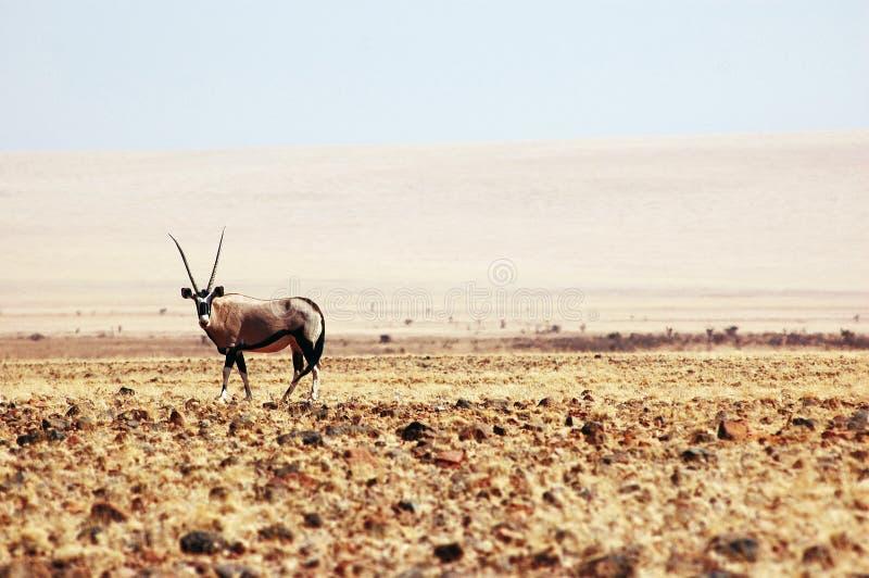 Gazella van Oryx stock foto's