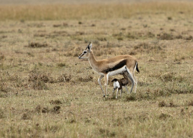 gazelle περιποίηση s thomson στοκ εικόνες