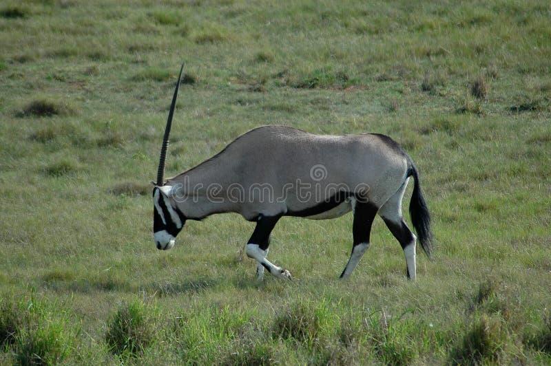 Gazelle fotografia de stock