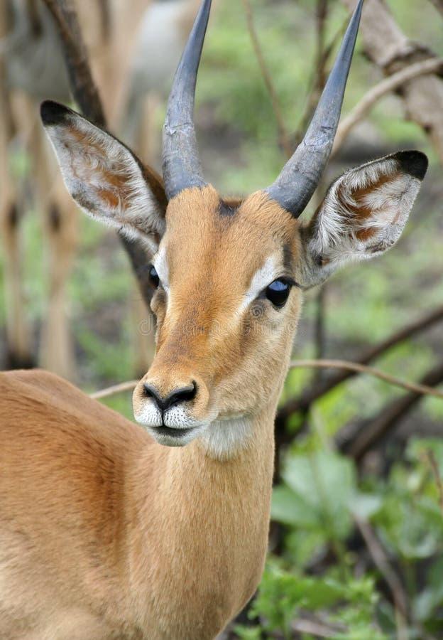 Gazelle stock foto