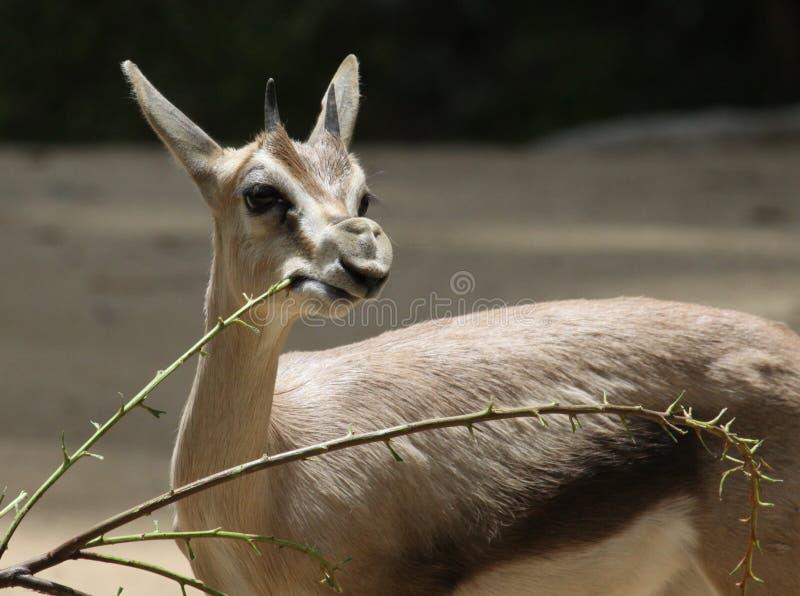Gazelle fotos de stock