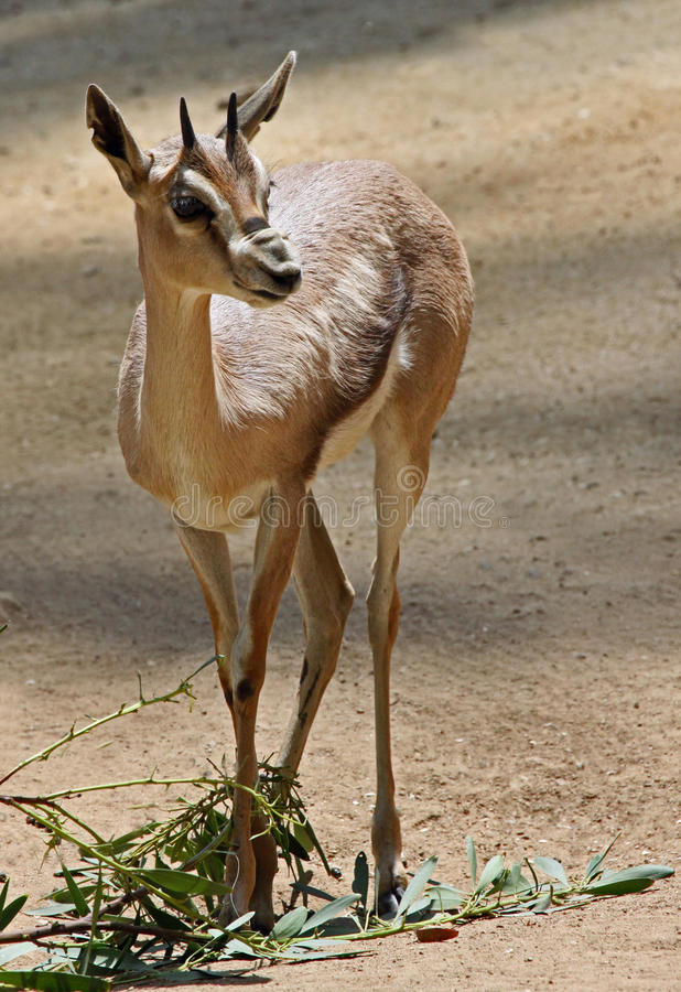 Gazelle arkivfoton