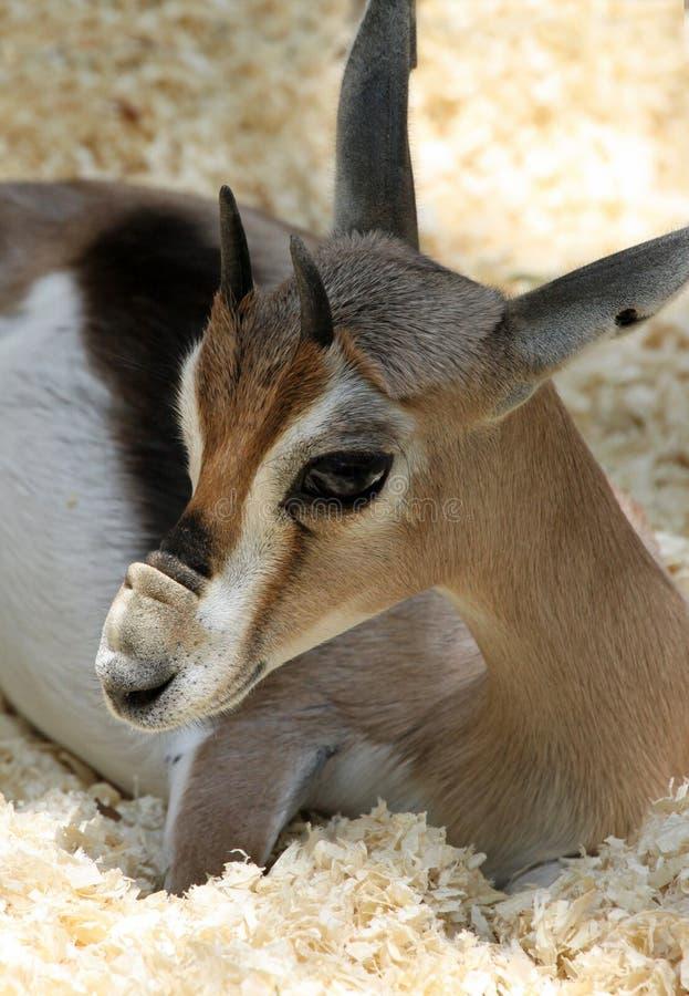Gazelle royaltyfria foton