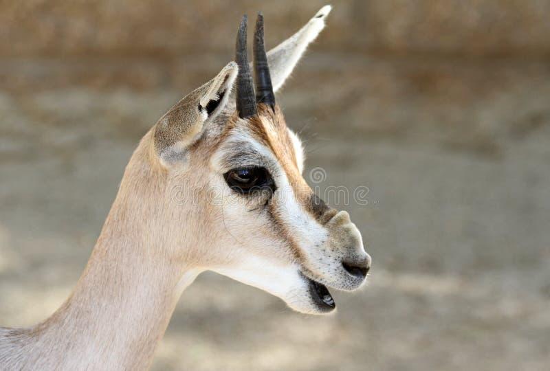 Gazelle stock afbeelding