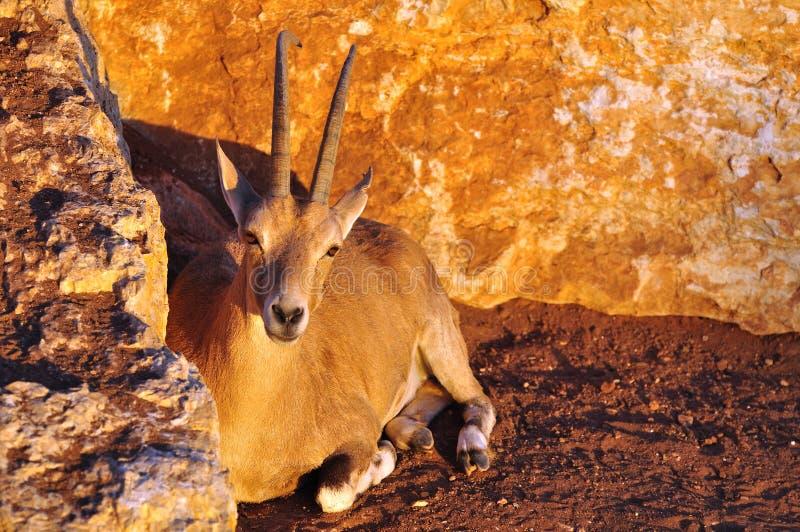 Gazelle. fotografia de stock