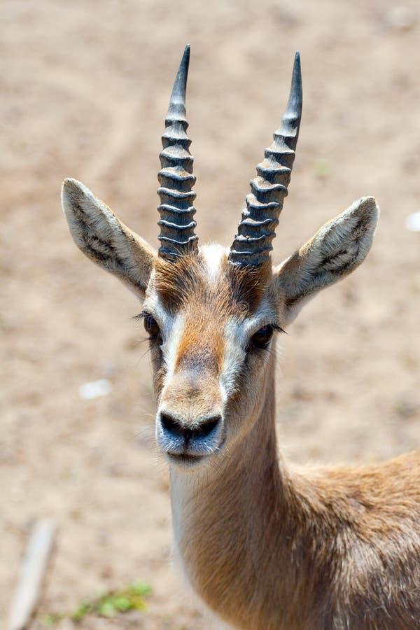 Gazelle stock afbeeldingen