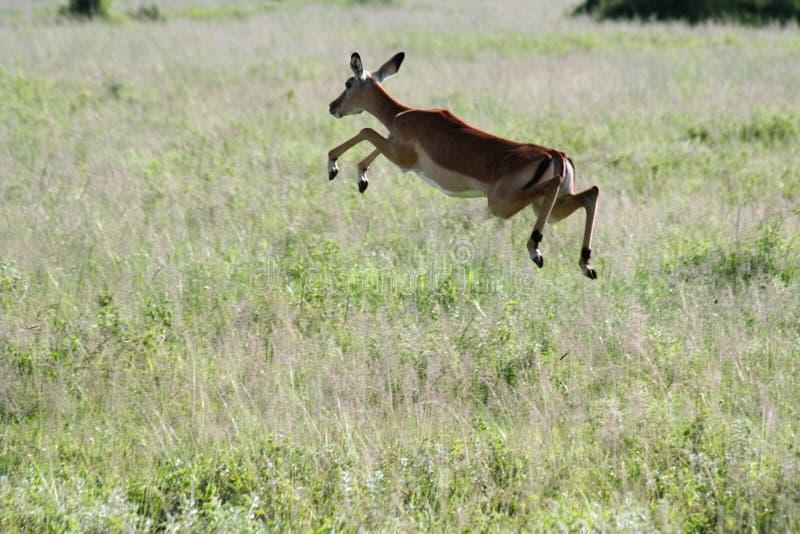Gazelle royalty-vrije stock afbeeldingen